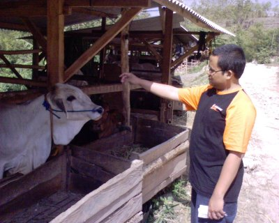 Aku dan sapi